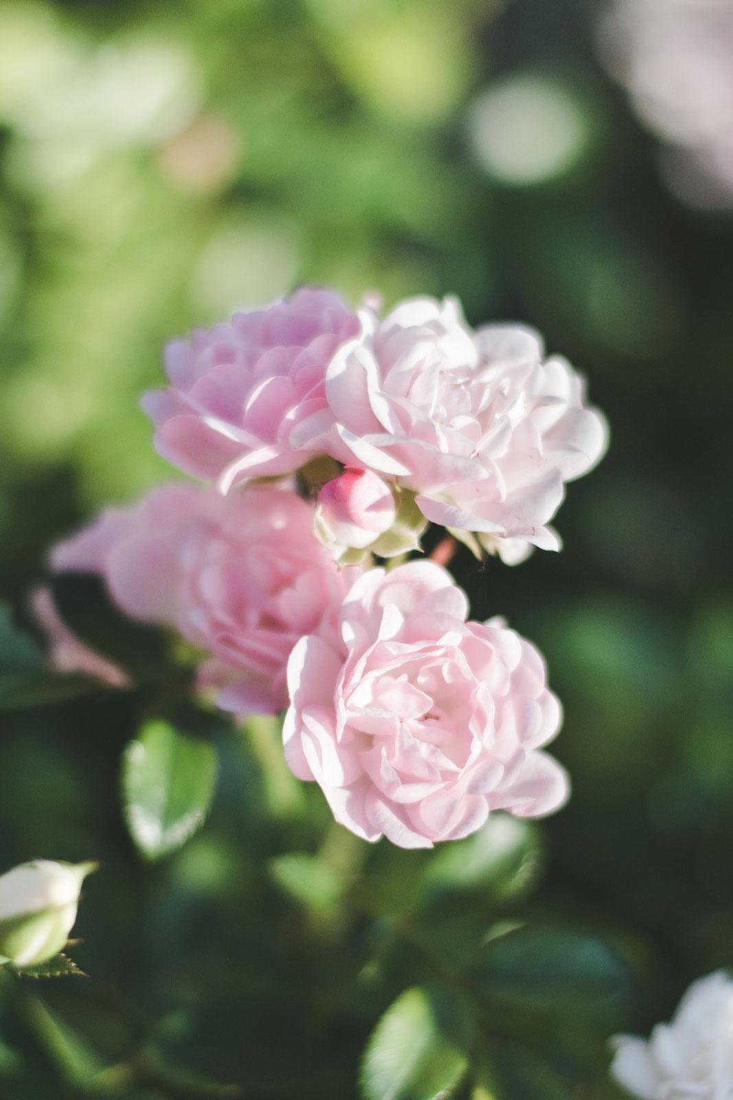 Roses-in-Lazienki-Park