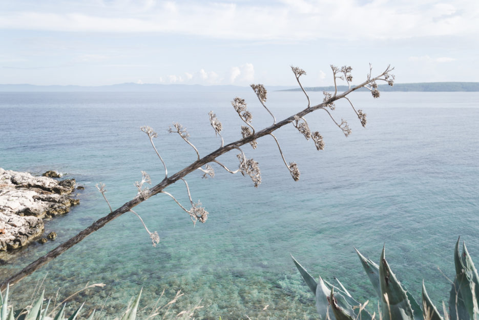 Agave flower in Hvar, Croatia - from travel blog: https://epepa.eu/
