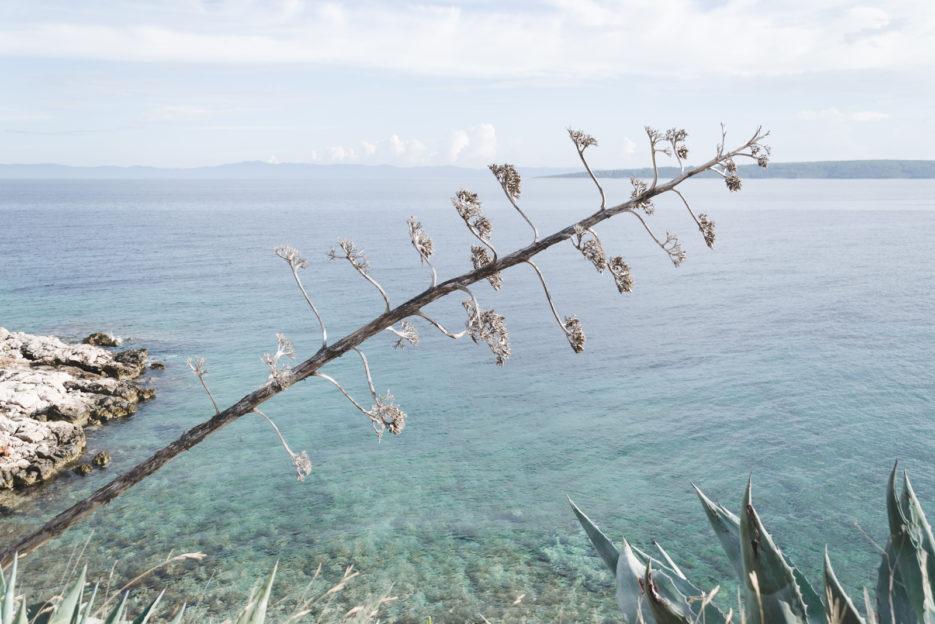 Agave flower in Hvar, Croatia - from travel blog: https://epepa.eu/