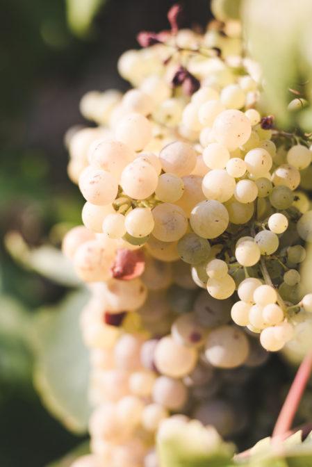 Bogdanusa grapes in Zavala, Hvar - from travel blog: https://epepa.eu/