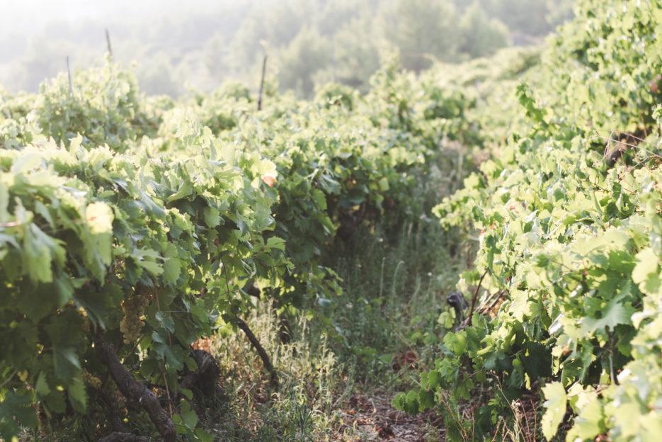 Vinayards in Zavala, Croatia - from travel blog: https://epepa.eu/