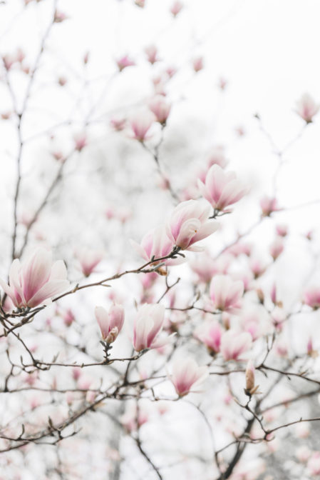 Pink magnolia in Ustroń, Poland - from travel blog: https://epepa.eu/