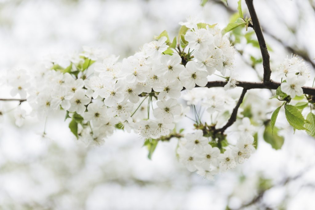 White spring flowers blooming on the tree - from travel blog: http://Epepa.eu
