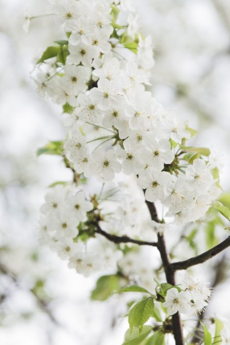 White flowers on the tree, Ustroń, Poland - from travel blog: https://epepa.eu/