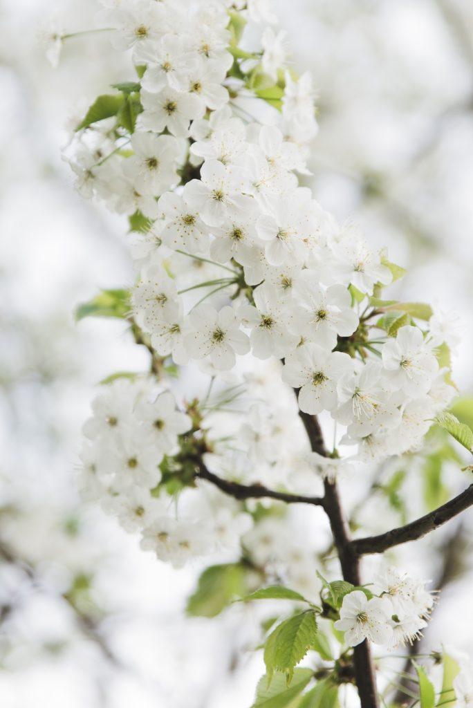 White flowers on the tree - from travel blog: http://Epepa.eu
