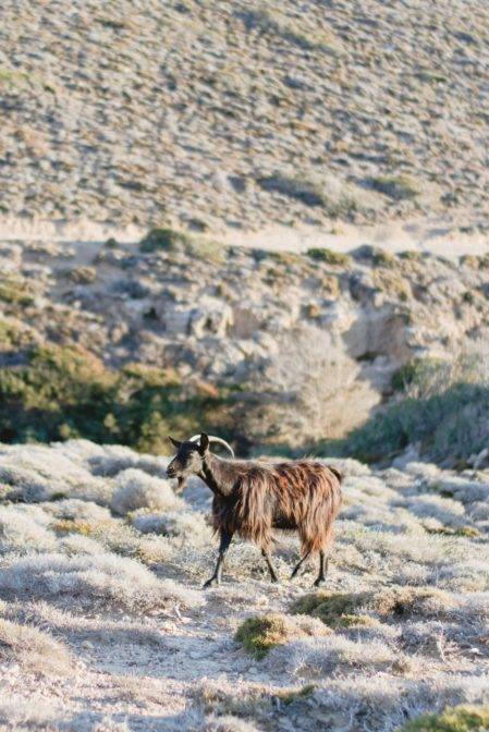 Goat in Prasonisi Island, Rhodes, Greece - from travel blog: https://epepa.eu