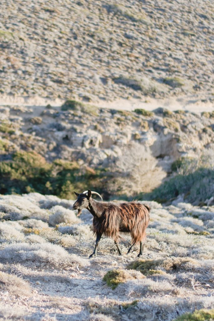 Goat in Prasonisi Island, Rhodes, Greece - from travel blog: http://Epepa.eu