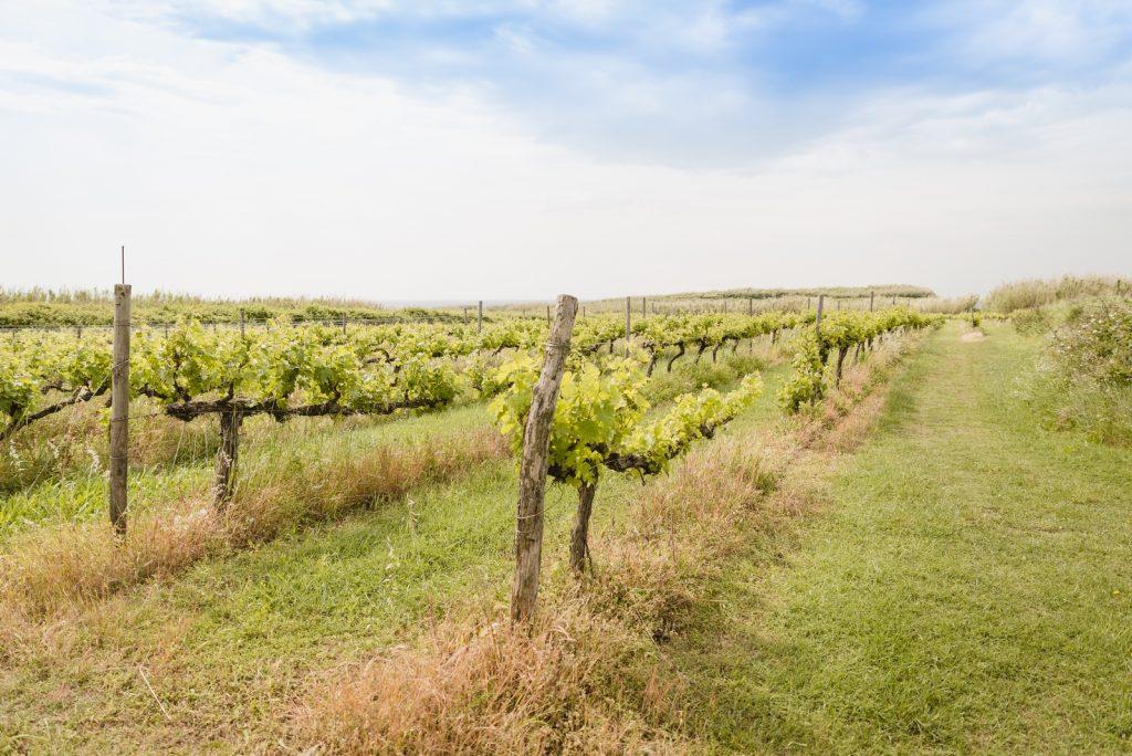 Vineyards on the Susak Island, Croatia - from travel blog: http://Epepa.eu