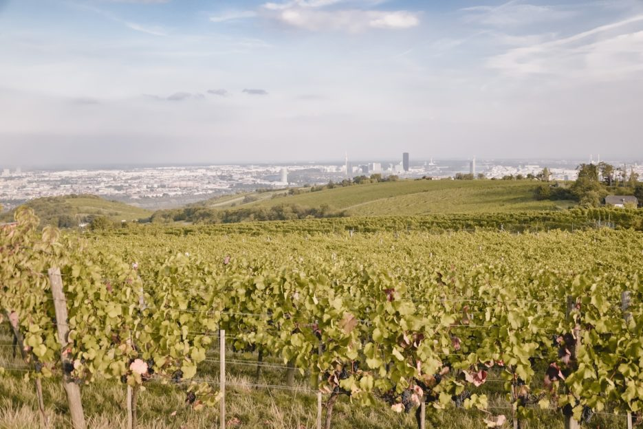 Vineyards on Kahlenberg hill, Vienna - 10 best things to do in Vienna, Austria - from travel blog https://epepa.eu