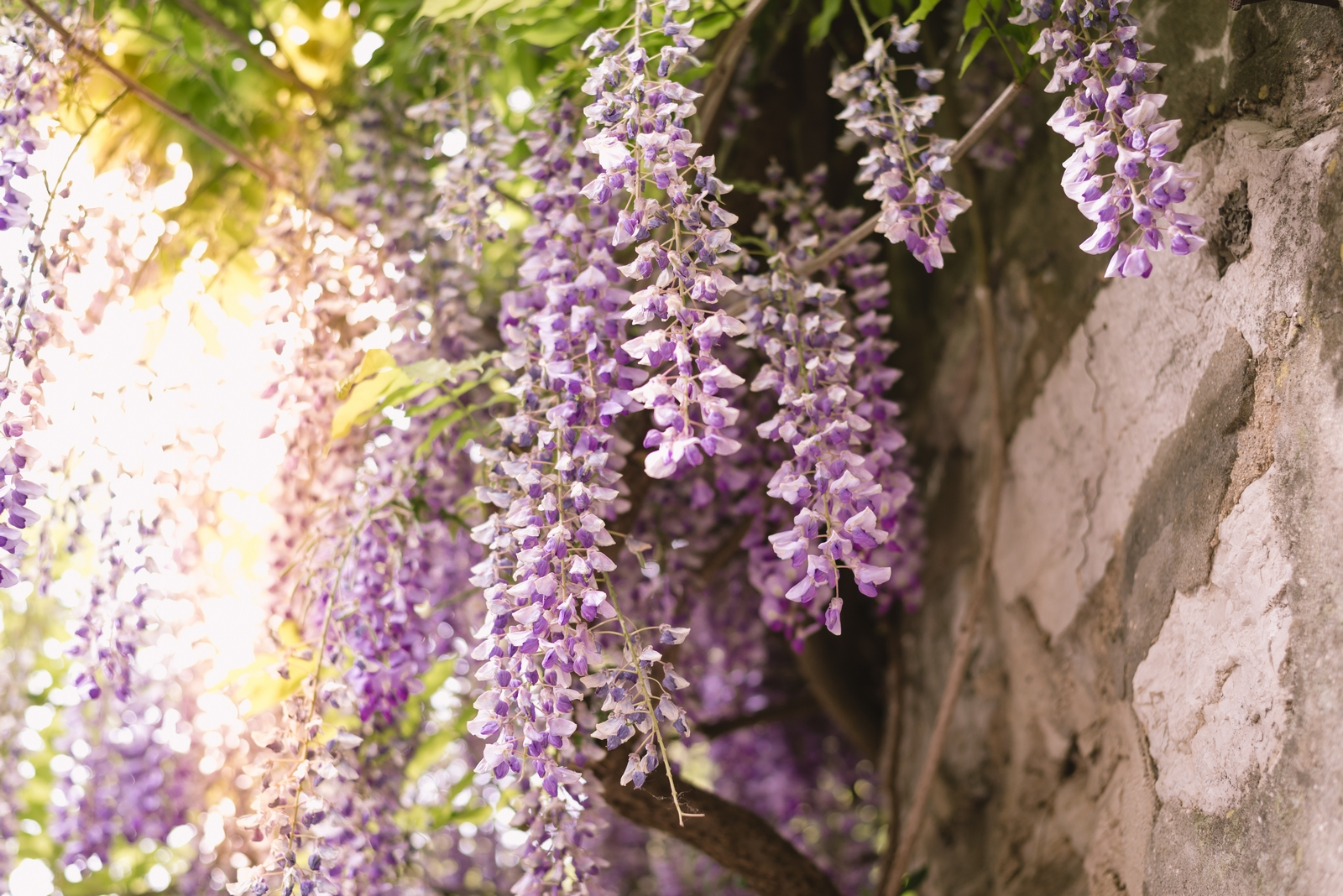 May purple flowers in Rovinj, Istria - from travel blog http://Epepa.eu