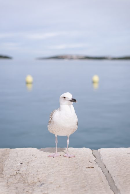 Seagull in the port of Rovinj, Istria - from travel blog https://epepa.eu