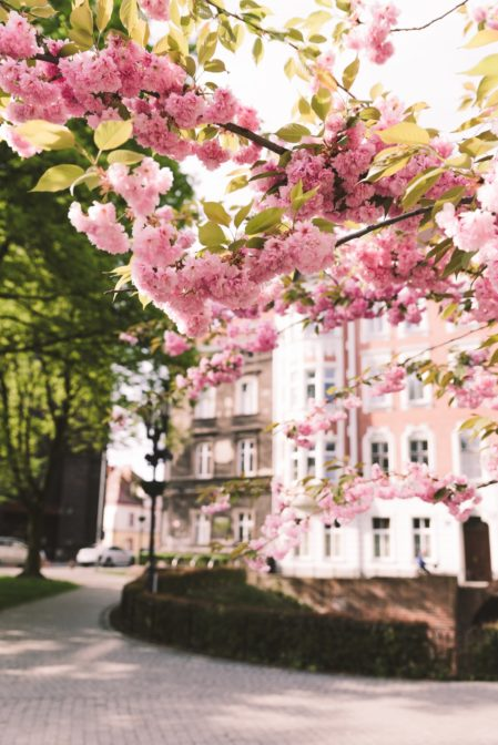 The pink-flowering trees at Plac Rzeźniczy, Gliwice, Poland