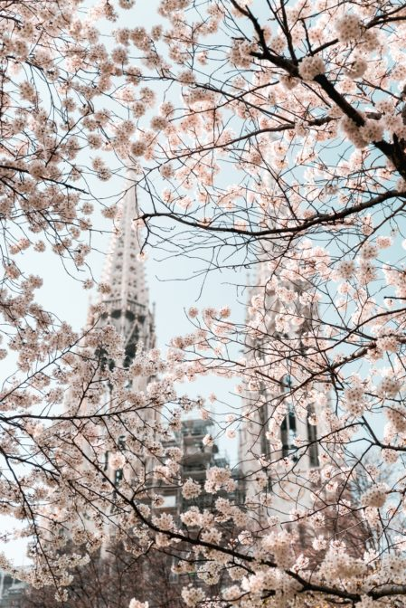 A flowering tree near the Votivkirche, Vienna