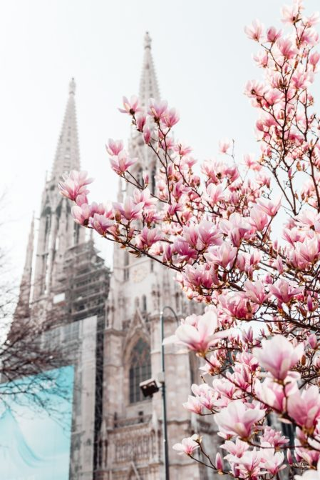 The most instagrammable magnolia tree in Vienna