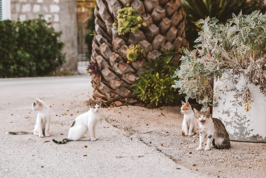 Funny cats in Sreser, Croatia