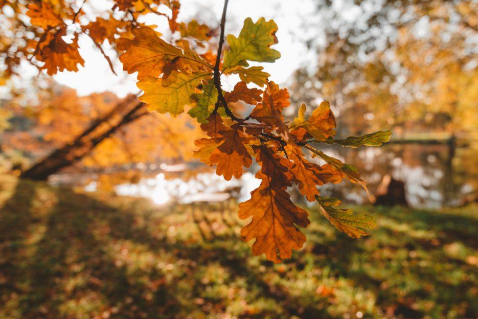 Autumn oak leaves in Park Świerklaniec, Poland